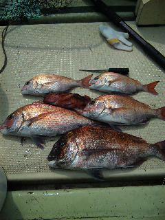 午前便 釣果は、鯛50㌢〜28㌢が5本でした。