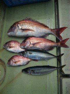 午前便 釣果は、鯛60㌢〜28㌢4本サバ50本でした。
