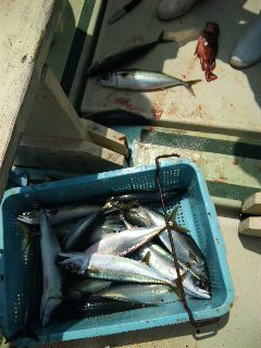 午前便 釣果は、サバ60本でした。