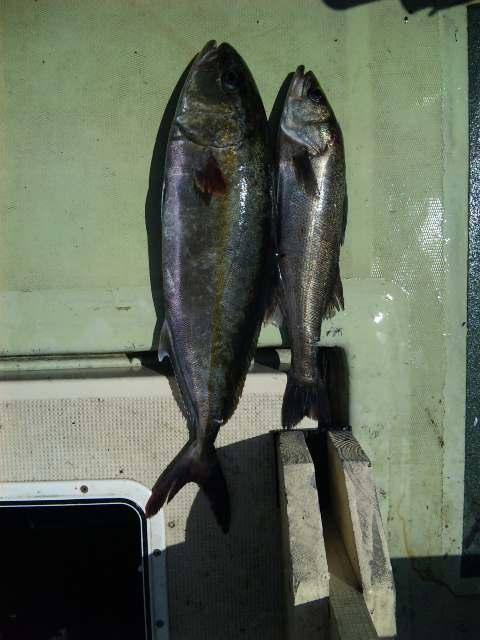 釣果は、カンパチ64㌢シーバス1本タチウオ60本でした。