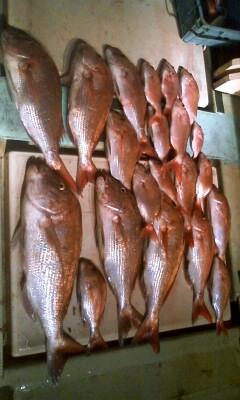 鯛カブラ爆釣