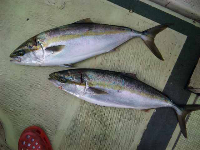 釣果は、タチウオ90本メジロ63㌢61㌢でした。