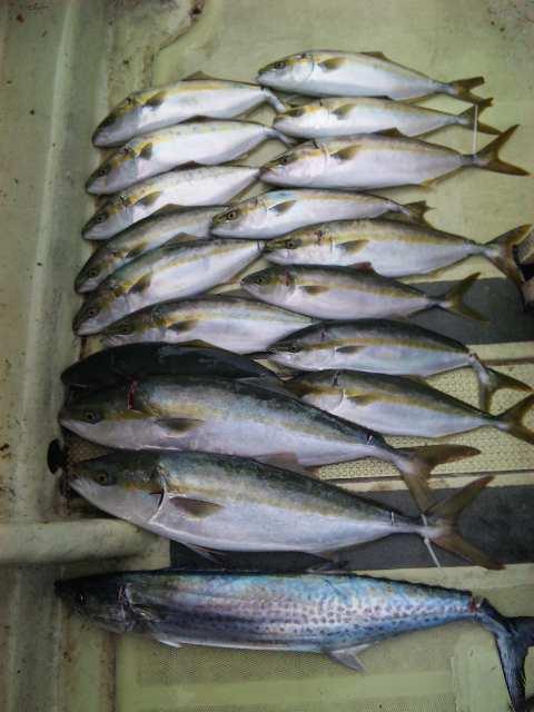 昨日の釣果は、メジロ2本ツバス15本サワラ1本でした。  今日の釣果は、ツバス10本でした。土曜日・日曜日は、タチウオも、やります。