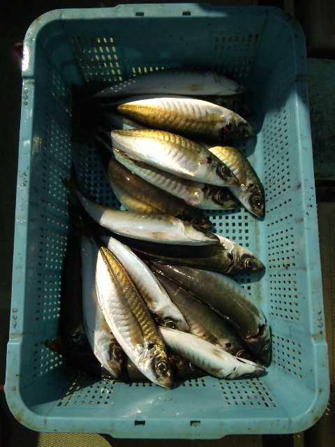 釣果は、サワラ2本タチウオ8本アジ24本でした。