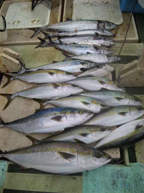 本日9人の釣果は、ブリ2本メジロ8本サワラ7本 トラフグでした。
