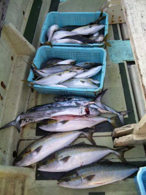 釣果は、メジロ4本サワラ3本ハマチ31本4人の釣果です。