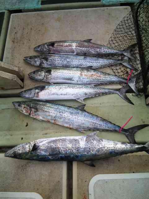 釣果は、ブリ2本メジロ13本サワラ6本ハマチ15本でした。7人の釣果です。