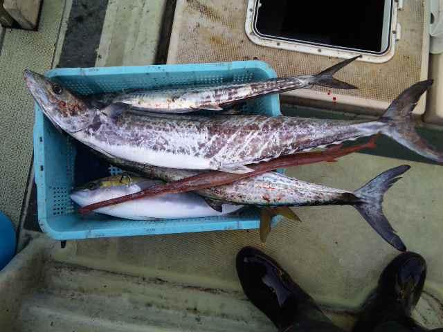 釣果は、メジロ1本サワラ3本アカヤガラでした。