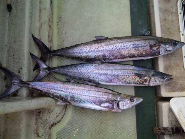 釣果は、サワラ3本ハマチ1本でした。