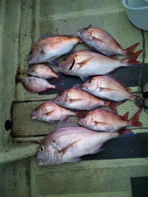 昨日の釣果は、タイ10本でした。今日は、タチウオ100以上