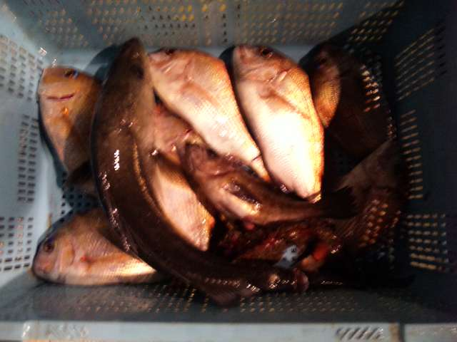 鯛カブラ初釣りの釣果は、鯛7本・シーバス・オコゼ・メバルでした。明日も、がんばります。