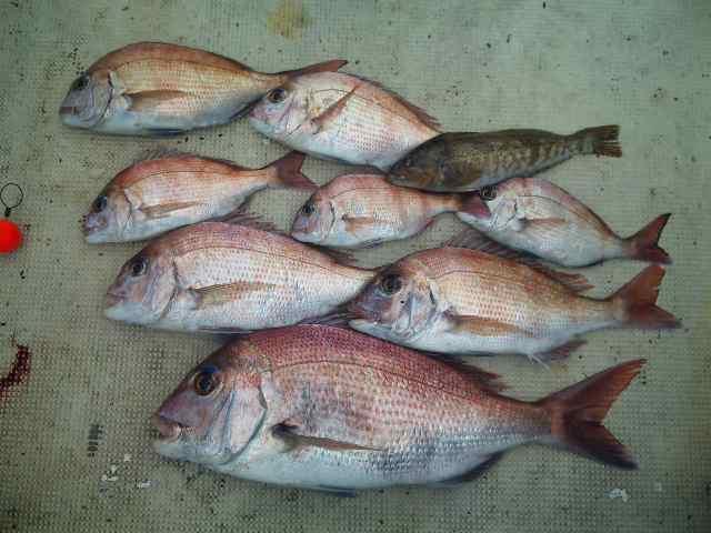 午前便・6人・釣果は、鯛8本アブラメでした。午後便・6人・釣果は、鯛5本でした。
