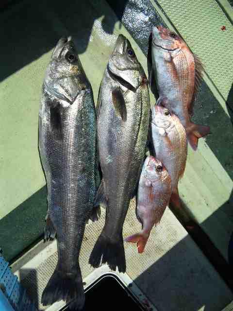 昨日の釣果は、鯛3本シーバス2本でした。  明日4月19日(月曜日)出船します。空席有ります。