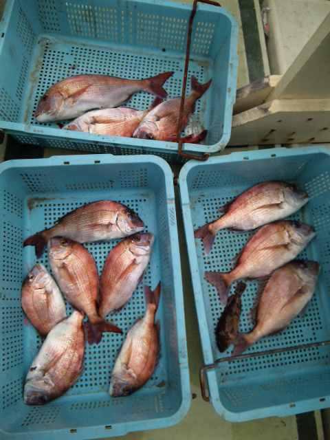 今日は、午前便で出船したのですが、かなり、厳しくあたりも、少ない一日でした。それでも、夕方頃までガンバリました。結果 鯛12本でした。明日も、ガンバリます。