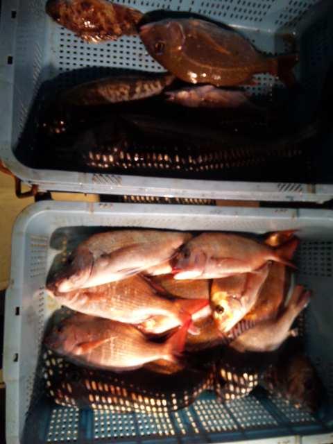 昨日の釣果です。午前便は、完封負けでした。   午後便は、鯛14本シーバス1本アブラメ1本こぶチャンでした。