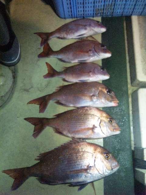 釣果は、午前便鯛2本メバル1本コブ1本でした。    午後便鯛6本なぜかタチウオ10本でした。