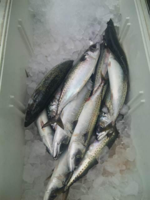 日曜日も、サバ200本 以上釣れました。鯛1本