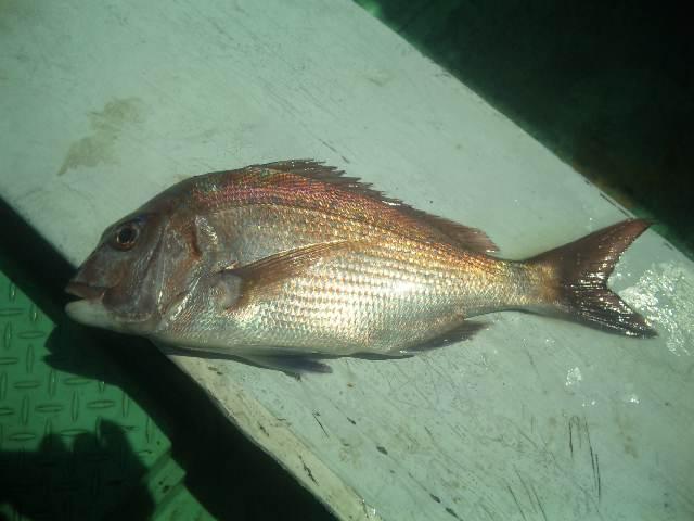 釣果は、鯛1本でした。                        ゴールデンウイークの予約 受付します。   29日〜5日  出船します。