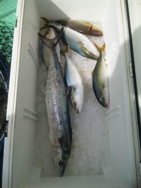 釣果は、サワラ2本シオ15本ツバス・ハマチ29でした。