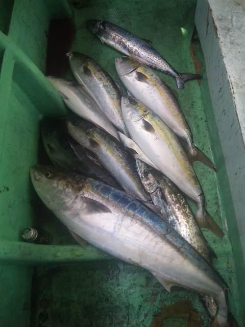 釣果は、ブリ1本 メーター越え メジロ6本サワラ2本サゴシ1本でした。 火曜日・水曜日  出船します。 予約は、090−4282−4828までお願いします。