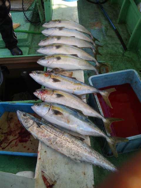 水曜日 釣果は、メジロ9本サワラ6本でした。