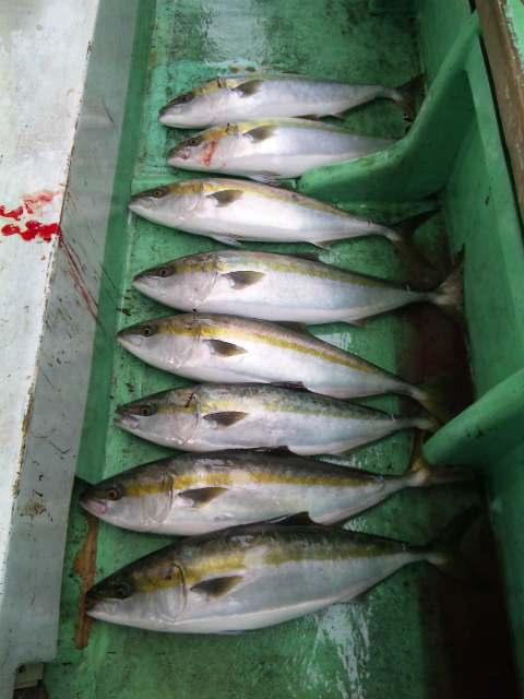 今日の釣果は、メジロ8本サワラ1本でした。