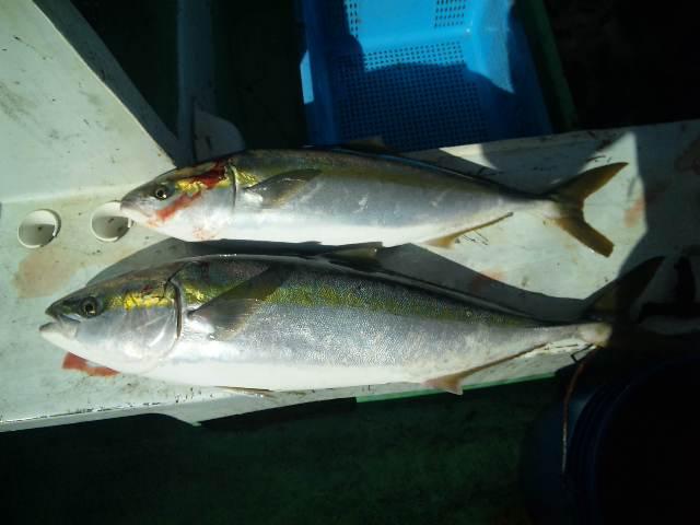 昨日の釣果は、ブリ1本メジロ1本でした。