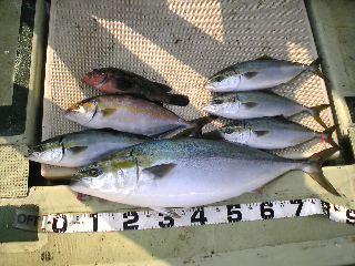 午前便 釣果は、ブリ87㌢ハマチ4本シオ1本アコウでした。