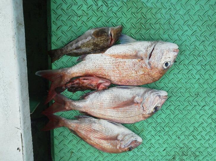 土曜日の釣果は、タイ3本アコウでした。今日は、タイ3本アブラメ2本てした。