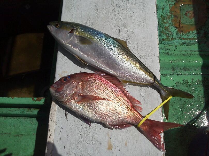 釣果は、タイ1本ハマチ1本てした。
