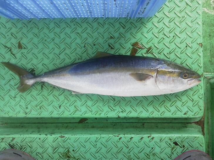 昨日の釣果は、メジロ1本ツバス・ハマチ24本アジ46本でした。