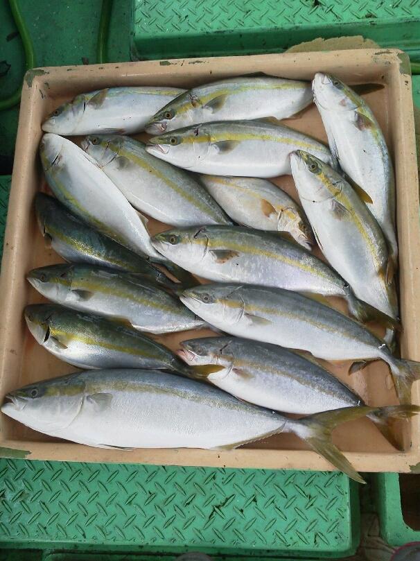 昨日の釣果は、メジロ1本ツバス・ハマチ12本シオ1本タチウオ少しでした。