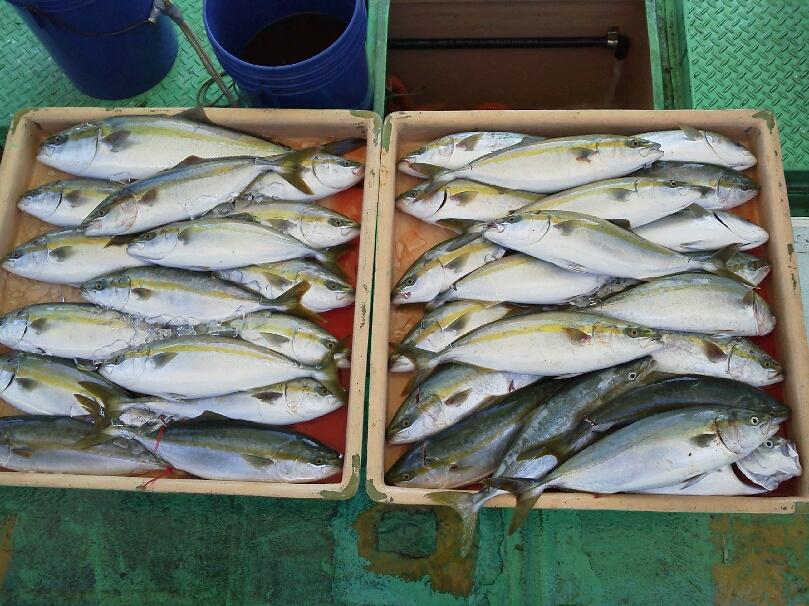 土曜日の釣果は、ハマチ42本メジロ2本サワラ1本タチウオ100本以上でした。