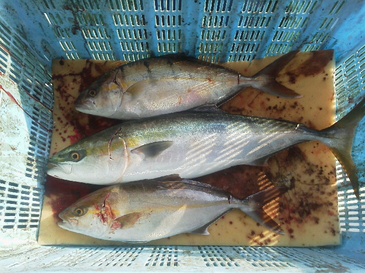 釣果は、メジロ1本サワラ9本サゴシ8本シオ3本でした。明日   キャンセルが、出ました。予約の方は、21時までに、ご連絡下さい。
