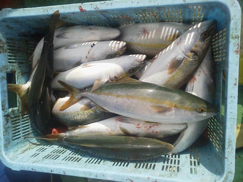 5人の釣果は、ハマチ63本サゴシ4本でした。明日も、多少ですが、空席あります。